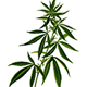 The Daily Marijuana Observer favicon