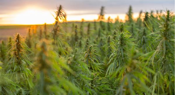 US Hemp Market Expected to Top $100…