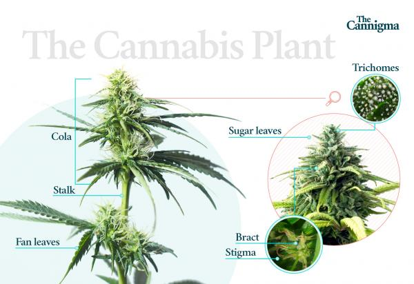 photo of How to Tell the Difference Between Male and Female Cannabis Plants image