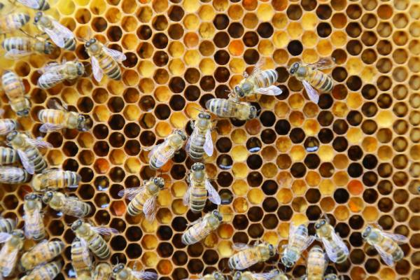 photo of How bees make highly potent CBD honey image