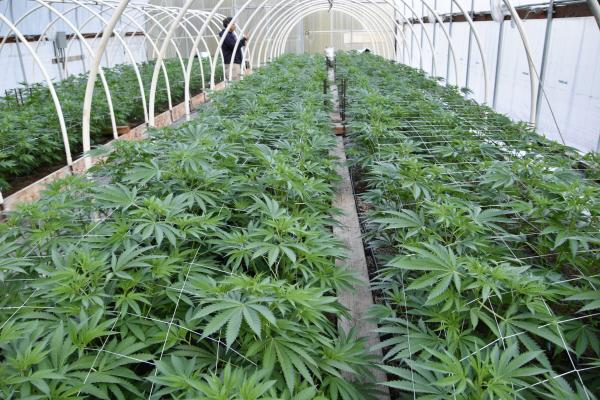 photo of Growers in the Emerald Triangle are Facing a Potential Extinction Event image