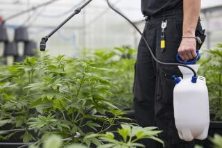 photo of BC tests illicit cannabis and finds pesticides, other impurities image