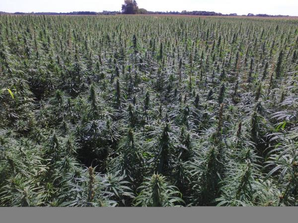photo of Hemp acreage jumps 500% in 2019, a sign of legalization's impact image