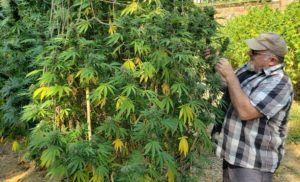 photo of Regulatory maze, money prevent craft marijuana farmers in California from offering own brands image
