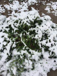 photo of Early freeze in Colorado could cost marijuana, hemp growers millions in losses image