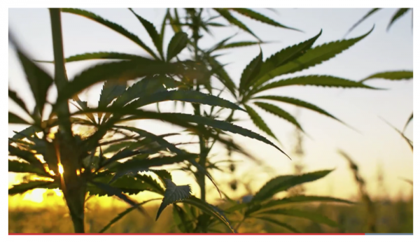 photo of Scientists believe cannabis could help prevent and treat coronavirus image