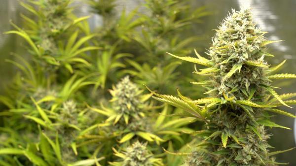 Frankfurt Begins A Training Program For Cannabis Doctors