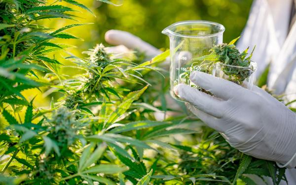 Wasn't the DEA Going to Let Others Grow Research-Grade Cannabis?