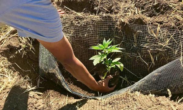 Cannabis Planting: Summer in the…