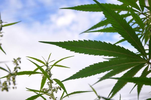 Here's When Michigan's Marijuana…